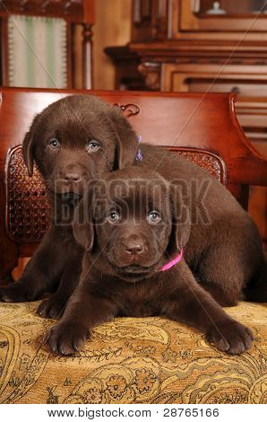 Portrait Of Two Cute Labrador Puppies On The Chair