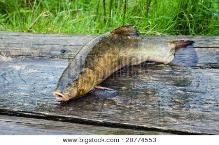 Raw Tench On Wooden Boards. Closeup