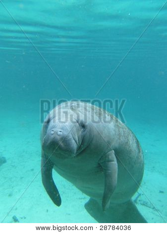 Seacow or Manatee Swimming Undereater in Crystal River, Florida