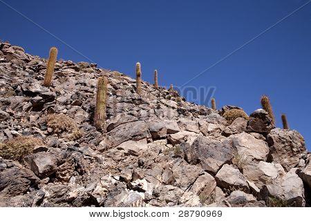 cactus in Atacama desert
