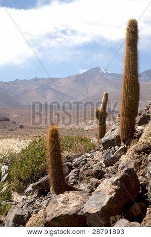 cactus in atacama
