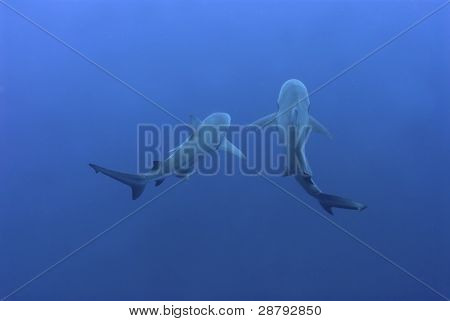 Shark Mates