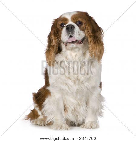 Cavalier King Charles Spaniel (8 Years)