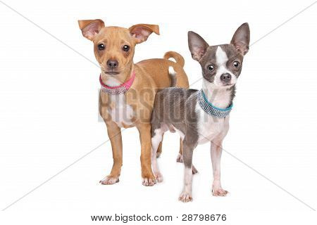 Chihuahua And A Mix Miniature Pincher