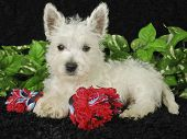stock photo of westie  - Westie puppy laying with his doy toy on a black background - JPG