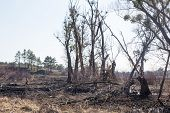 Consequences Of Forest Fires. Spring Burning Grass In The Fields. Burnt Trees After Fire And Fires I poster