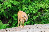 Young Deer Near The Road. Summer Wildlife Landscape With A Relaxed Wildlife In Nature. poster