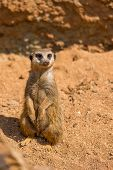Meerkat Animal (latin Name Suricata Suricatta) In The Wild. Detail Of African Animal Walking On The poster