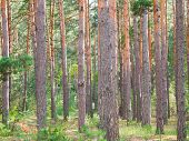 Spruce Forest, Pinery, Pine Forest, Pine Tree. Many Pine Tree Trunks With Selective Focus poster
