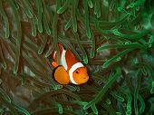 Closeup With Western Clown Fish Or Anemone Fish In Underwater World Diving In Sabah, Borneo. Marine  poster