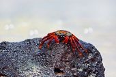 stock photo of crustations  - A Sally lightfoot crab on a rock - JPG