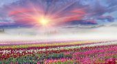 Field Of Tulips In The Fog poster
