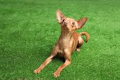 Cute Toy Terrier On Artificial Grass. Domestic Dog poster