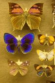 Butterfly Collection In A Zoological Collection For Systematic poster