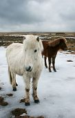 stock photo of workhorses  - icelandic horse in winter - JPG