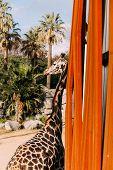 Funny Giraffe In Zoological Park, Barcelona, Spain poster