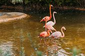 Flamingos Walking In Pond In Zoological Park, Barcelona, Spain poster