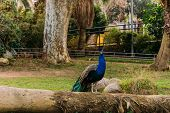 Beautiful Peacock On Tree Trunk In Zoological Park, Barcelona, Spain poster