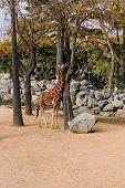 Funny Giraffe Walking Between Trees In Zoological Park, Barcelona, Spain poster