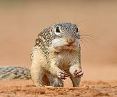 Long-tailed Ground Squirrel, Or Gopher Eversman (lat. Spermophilus Undulatus) Is A Rodent Genus Of G poster