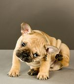 stock photo of irritated  - Sweet six week old French bulldog puppy - JPG