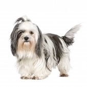 stock photo of dog breed shih-tzu  - Shih Tzu in front of a white background - JPG