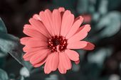 Red Daisy Flower. Flower In Garden At Sunny Summer Or Spring Day. Flower For Postcard Beauty Decorat poster