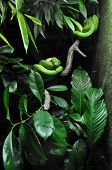image of green tree python  - big green snake in zoo on dack background with tropical plants - JPG