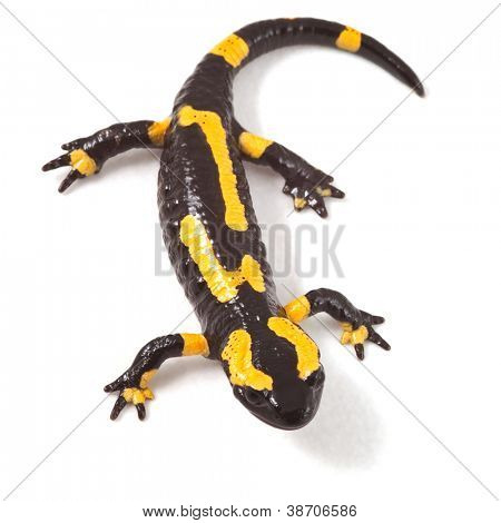 poisonous animal fire salamander with bright yellow orange warning colors beautiful toxic amphibian Salamandra