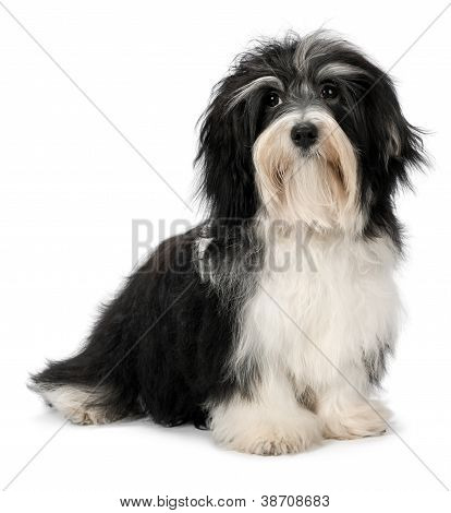 Cute Sitting Bichon Havanese Puppy Dog