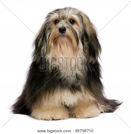 Cute Sitting Tricolor Havanese Dog Is Looking Upwards