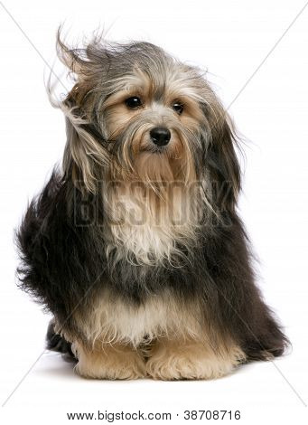 Cute Tricolor Havanese Dog Is Sitting In Wind