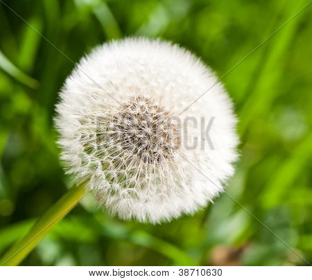 Beautiful Overblown Dandelion On Sunny Summer Day