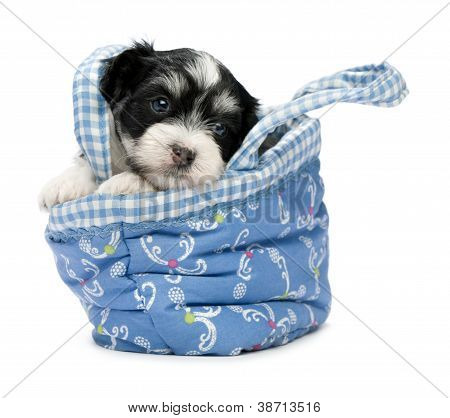 A Cute Havanese Puppy in a Basket
