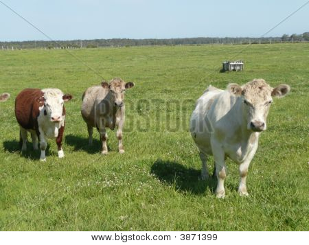 Three Cows In A Farm Paddock Near The Macleay River, Near Sth. West Rocks, N.S.W.