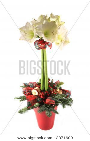 Studio Shot Of An Amaryllis Christmas Table Decoration