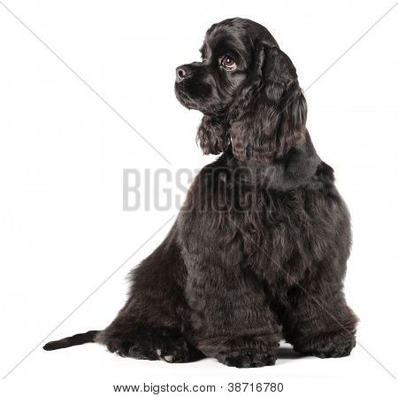 Cocker spaniel puppy , 4 mounth