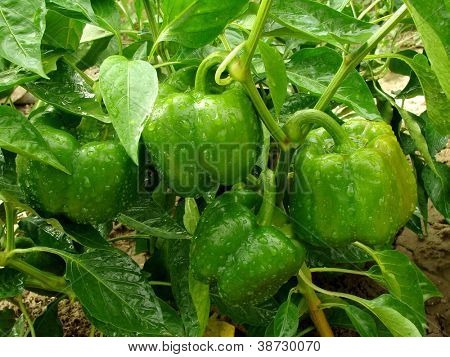 bell pepper plant with ripening green fruits