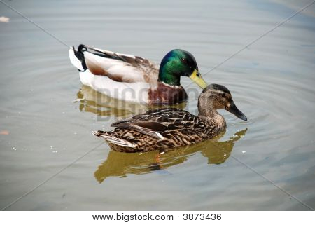 Pair Of Mallard Ducks