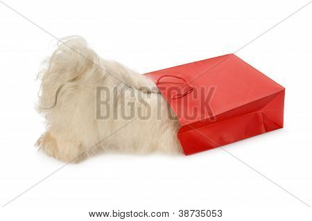 Curious Havanese Dog Is Looking To A Red Bag