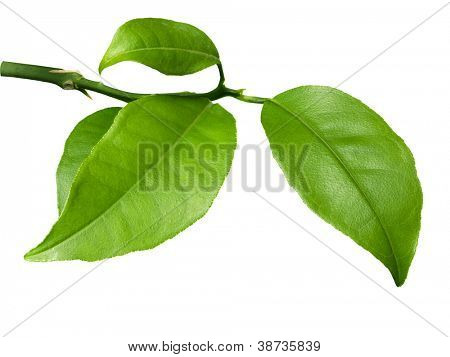 Fresh lime leaves on branch isolated over white background