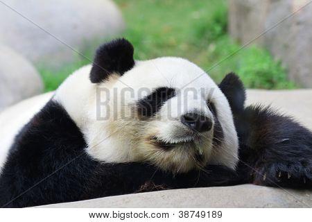 Schlafende panda