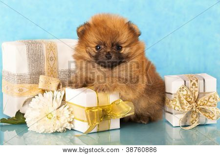 miniature pomeranian spitz puppy and New Year gift