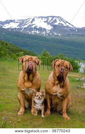 Three dogs against Norwegian landscape, Scandinavia