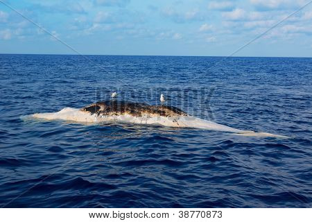 Dead whale upside down floating in ocean sea with seagulls over