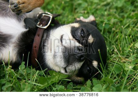 a cute chihuahua puppy laying in the grass