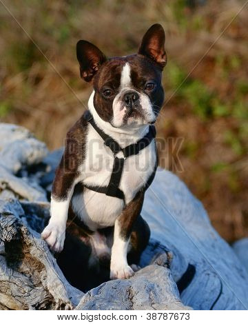 a cute boston terrier with a harness on, sitting on a log