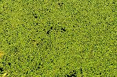 green duckweed on water as background