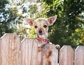 foto of applehead  - a cute chihuahua looking over a fence - JPG