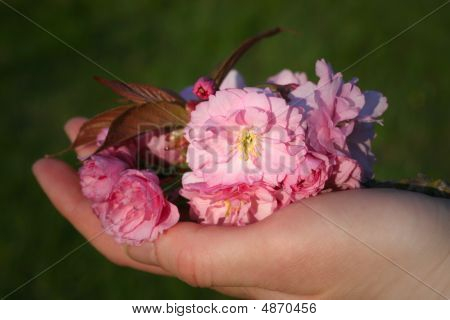 Cherry Blossoms In A Hand